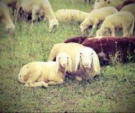 agnelez avec sa mère au milieu du troupeau avec l'EFF de vintage Photographie stock libre de droits