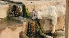 Agnelez l'eau potable d'un courant moisi sur les escaliers en pierre à Varanasi, Inde clips vidéos