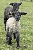 Il nero bianco del giovane bambino dell'agnello Immagine Stock