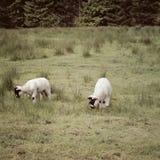 2 agnelli in campagna inglese Fotografia Stock