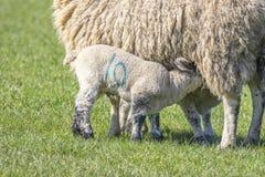 Agnelli che allattano la loro madre Immagine Stock
