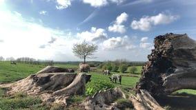 Agnelli che giocano vicino al vecchio albero in primavera stock footage