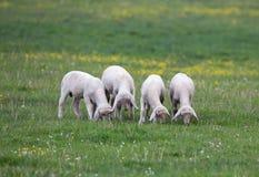 Agnelli che pascono sul prato Fotografia Stock Libera da Diritti