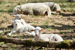 Agnelli che si trovano sull'erba sulla bio- azienda agricola immagini stock