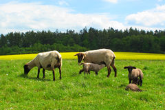 Agnelli da latte di allattamento al seno delle pecore Immagine Stock