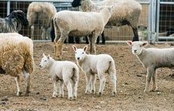Agnelli del bambino su un'azienda agricola Fotografia Stock
