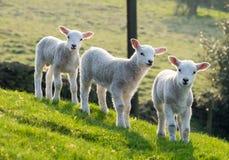 Agnelli della primavera Fotografia Stock Libera da Diritti
