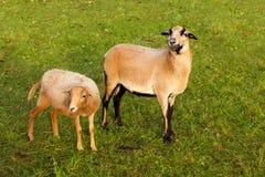 Agnelli delle pecore dell'azienda agricola Fotografia Stock Libera da Diritti