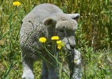 Agnelli delle pecore e fiori La Pampa Fotografie Stock
