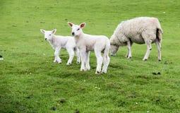 Agnelli dolci che abitano nel bello campo scozzese verde Immagine Stock