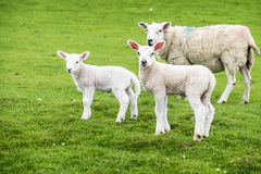 Agnelli dolci che abitano nel bello campo scozzese verde Fotografie Stock Libere da Diritti