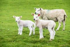 Agnelli dolci che abitano nel bello campo scozzese verde Immagine Stock Libera da Diritti
