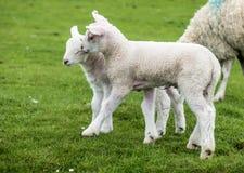 Agnelli dolci che abitano nel bello campo scozzese verde Fotografia Stock