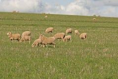Agnelli e pecore Fotografie Stock Libere da Diritti