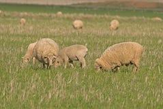 Agnelli e pecore Fotografia Stock