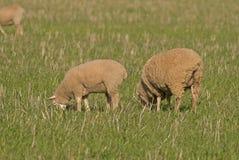 Agnelli e pecore Fotografie Stock