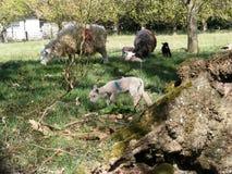 Agnelli e pecore all'interno di un prato locale Fotografie Stock Libere da Diritti