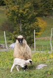 Agnelli e sheeps Fotografia Stock