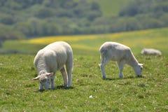Agnelli nel campo fuori di Corfe Fotografia Stock Libera da Diritti