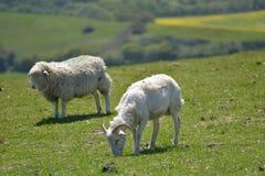 Agnelli nel campo fuori di Corfe Immagini Stock