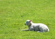 Agnelli nel campo fuori di Corfe Fotografie Stock Libere da Diritti