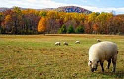 Agnelli nel prato di autunno Fotografia Stock Libera da Diritti