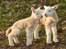 Agnelli neonati della primavera che prendono il sole al sole Immagini Stock Libere da Diritti