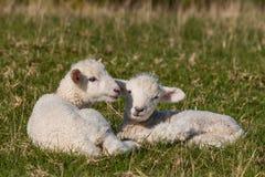 Agnelli neonati su erba fotografia stock libera da diritti