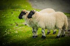 Agnelli scozzesi delle pecore del Blackface di Wolly Immagini Stock