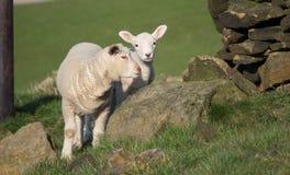 Agnelli svegli della primavera, West Yorkshire fotografie stock libere da diritti