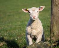 Agnelli svegli della primavera, West Yorkshire fotografie stock