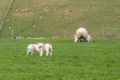 Agnelli in un campo in primavera, Irlanda rurale fotografie stock