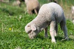 agnello fotografie stock