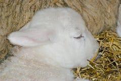 agnello fotografie stock libere da diritti