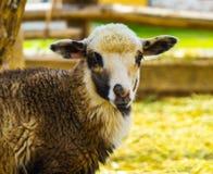 Agnello Agnello degli animali da allevamento Agnello animale L'agnello della fattoria degli animali whit Immagine Stock