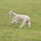 Agnello appena nato su erba immagini stock