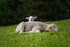 Agnello bianco con sua madre Fotografia Stock