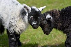 Agnello in bianco e nero degli agnelli da Loughrigg il Tarn Fotografia Stock Libera da Diritti