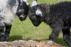 Agnello in bianco e nero degli agnelli da Loughrigg il Tarn Immagine Stock Libera da Diritti