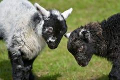 Agnello in bianco e nero degli agnelli da Loughrigg il Tarn Fotografia Stock