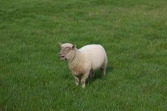 Agnello che bleeting nel prato dell'erba Fotografia Stock Libera da Diritti