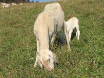 Agnello con le pecore della madre Immagine Stock
