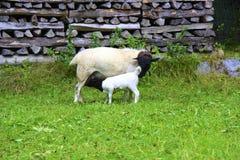 Agnello con le pecore di mamma Immagini Stock