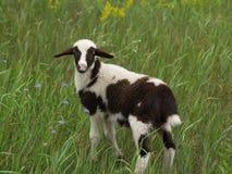 Agnello da latte nell'erba Immagini Stock