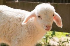 Agnello da latte qui per la primavera immagine stock libera da diritti