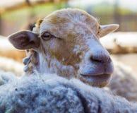 Agnello Agnello degli animali da allevamento L'agnello della fattoria degli animali Lookin bianco dell'agnello Fotografia Stock