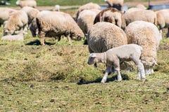 Agnello del bambino con il gregge delle pecore che mangiano fieno sull'azienda agricola Fotografia Stock