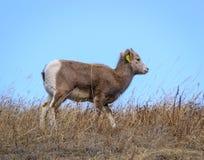 Agnello del Bighorn Immagini Stock Libere da Diritti