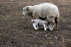 agnello della pecora Immagine Stock