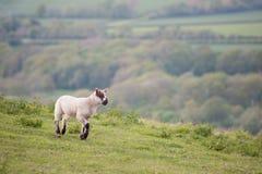Agnello della sorgente in il paesaggio rurale dell'azienda agricola di primavera Fotografia Stock Libera da Diritti